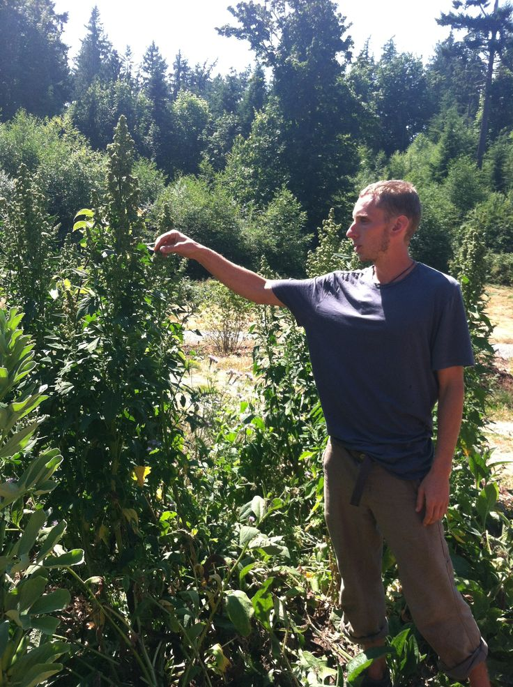 Zach showing us the Quinoa plants at the Ananda Farms on Camano Island