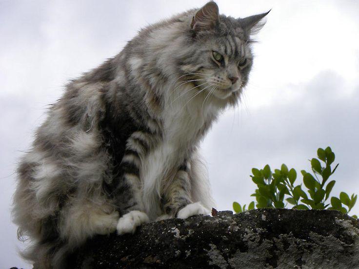 Jenis - Jenis Kucing Paling digemari di Indoensia