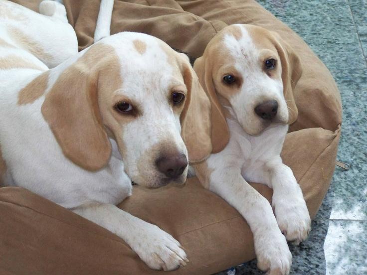 Snoop Dog the Lemon Beagle's Web Page  |Lemon Beagle Puppies