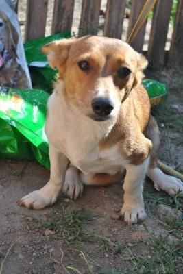 Cojack (Corgi X Jack Russell Mix) Dog Info, Temperament, Training, Puppies, Pictures