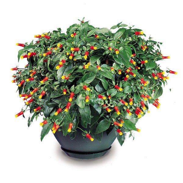 Firecracker Vine Manettia Luteo Rubra Tropical Plants