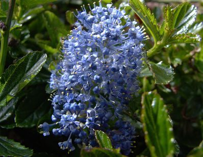 ceanothus burkwoodii c anothe arbuste persistant feuillage vert fonc brillant fleurs. Black Bedroom Furniture Sets. Home Design Ideas