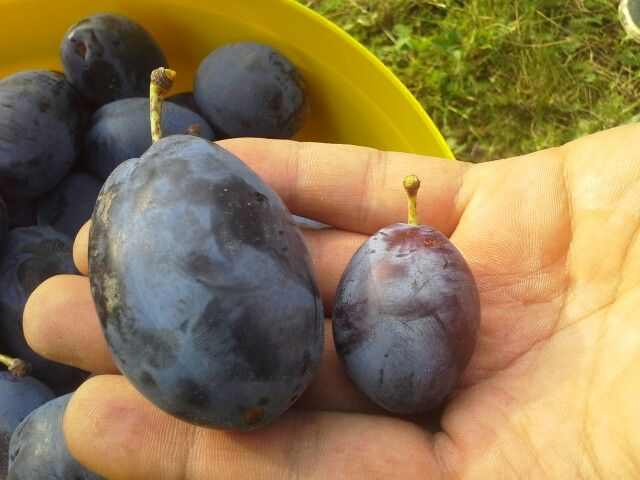 Bistrita huge plums