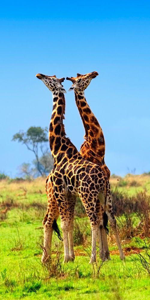 Giraffes in the Murchison Falls national park, Uganda