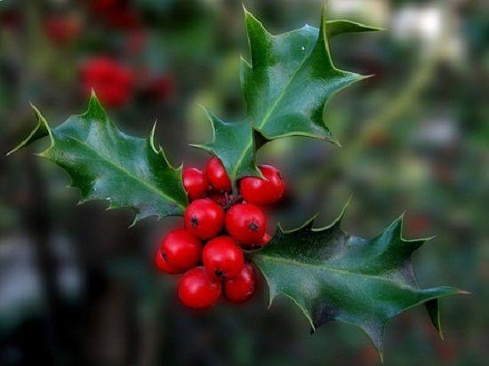 El acebo y el muérdago son dos plantas típicas de Navidad. Los frutos rojos del acebo y los blancos del muérdago esconden simbolismos y leyendas.