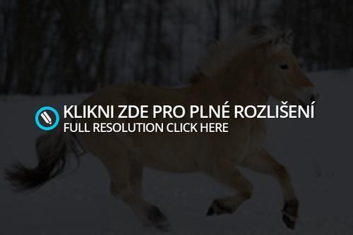 Norská národní plemena koní jsou v ohrožení, hrozí jim vyhynutí   Klub volná hříva -klub proti týrání koní