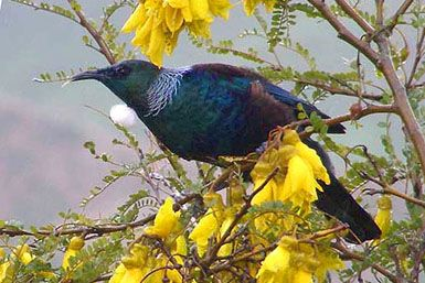 Tui Loving the Kowhai Tree