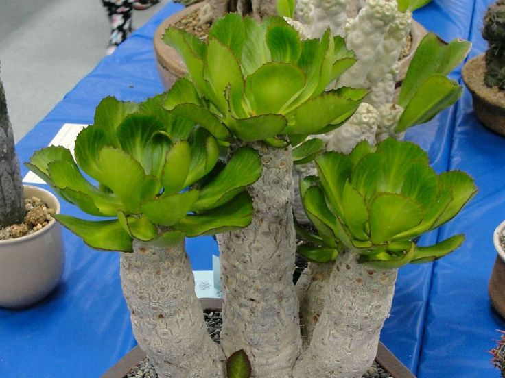 Euphorbia unispina - Candle Plant is a spiny, succulent shrub with a stout, sparsely-branched stem that can be up to 13.1 feet (4 m) tall...