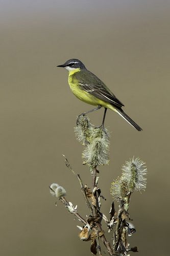 Yellow Wagtail   This species is ultra difficult to approach…   Flickr
