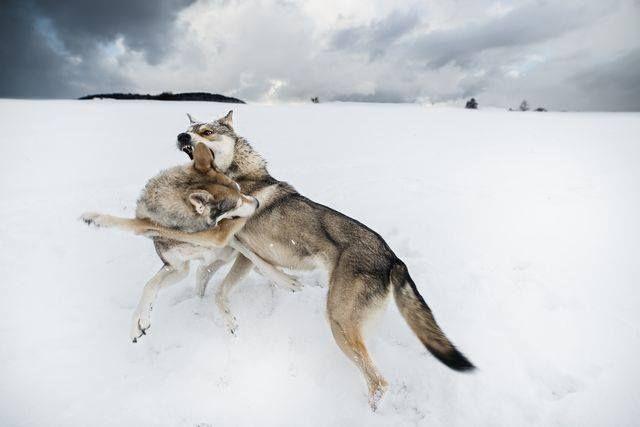 16681661_10154540383669132_4180811342185737047_n.jpg (640×427)   National Geographic A NAP KÉPE: Birkózás Fotós: Maria Ruppen 2017.02.11.