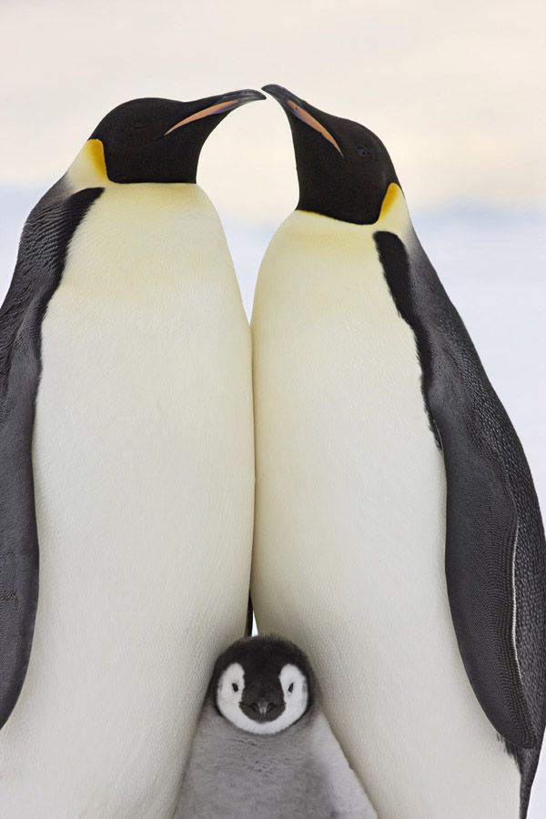 Emperor penguins with young chick at Snow Hill Island rookery, Antarctica. October 2008.King Penguins,  Aptenodyt Patagonica, Animal Baby, Nature, Creatures, Baby Animal, Birds, Families Portraits, Penguins Families