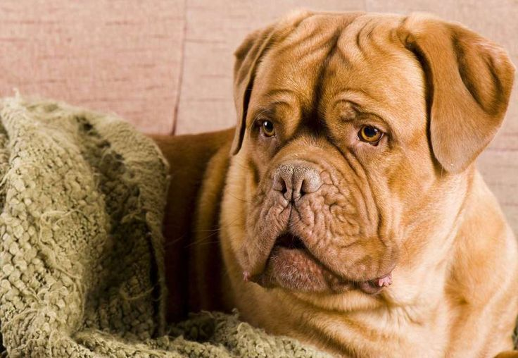 dogue dating Freeadscouk: find dogue de bordeaux dogs & puppies for sale in scotland at the uk's largest independent free classifieds site buy and sell dogue de bordeaux dogs & puppies in scotland with freeads classifieds.