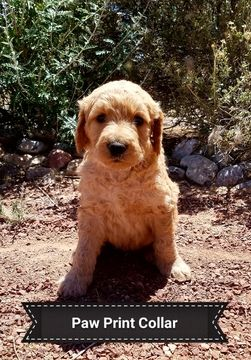Litter Of 8 Goldendoodle Puppies For Sale In Rio Rancho Nm Adn