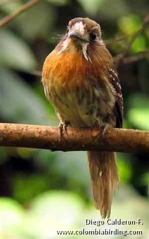 Moustached Puffbird