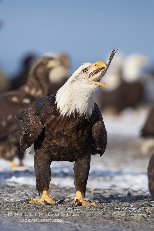 784 best bald eagles images on pinterest animal kingdom for Fish eating eagle