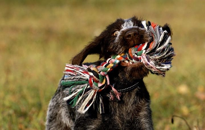 Gaja german wirehaired pointer german wirehaired
