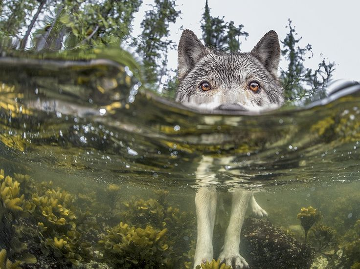 Underwater Wolf Image, Canada - National Geographic Photo of the Day