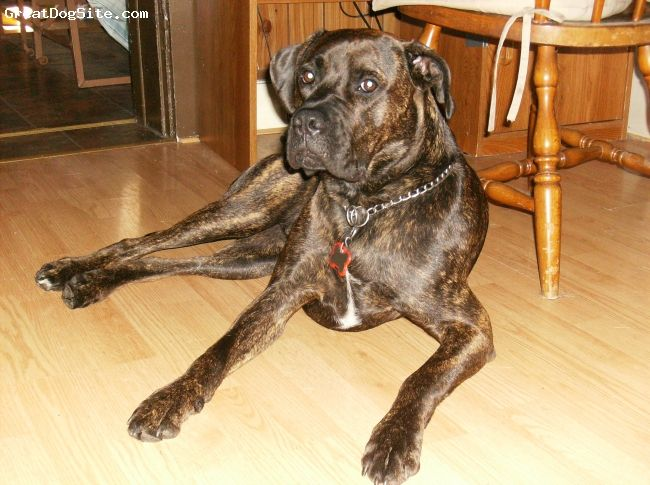 brindle boxador as an adult 16 5 months boxer lab mix boxador pinterest we photo. Black Bedroom Furniture Sets. Home Design Ideas