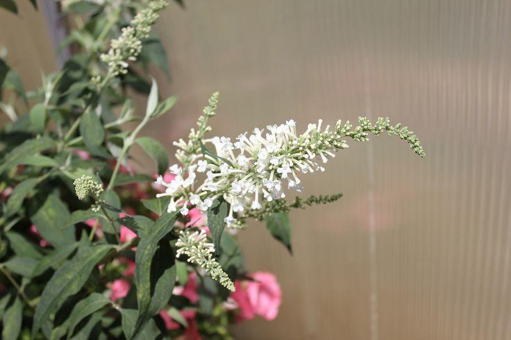 InSpired+White+-+Butterfly+bush+-+Buddleia+x