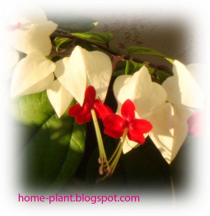 Комнатные растения для души и настроения: Укоренение клеродендрума: простой способ