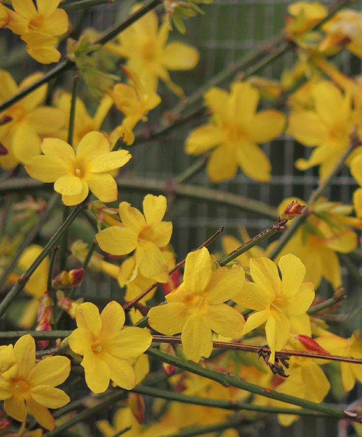 Jasminum mesnyi, jazmin de primavera o Jazmín amarillo. http://www.elhogarnatural.com/Trepadoras.htm