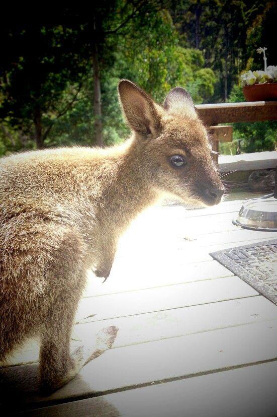 Roos hanging out on front deck :) @wildoceantasmania #wallaby #wildliferehab #Tasmania #Australia #holiday #thingstodo #outdoors