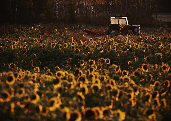 Tractor in a sunflowerfield - prints for sale