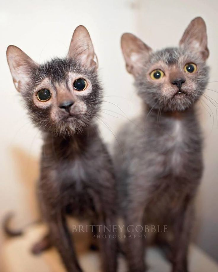 While these cats are super cute, there are a number of concerns about ... #lykoi - See more at Catsincare.com!