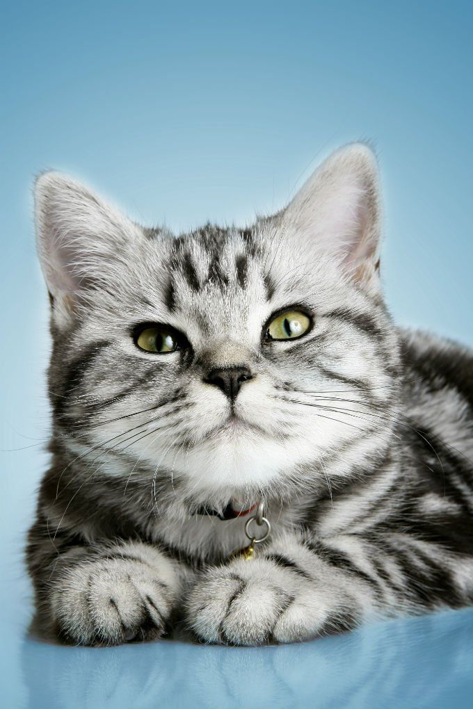 British Shorthair Cats And Kittens In 2020 British Shorthair Cats Cat Breeds British Shorthair