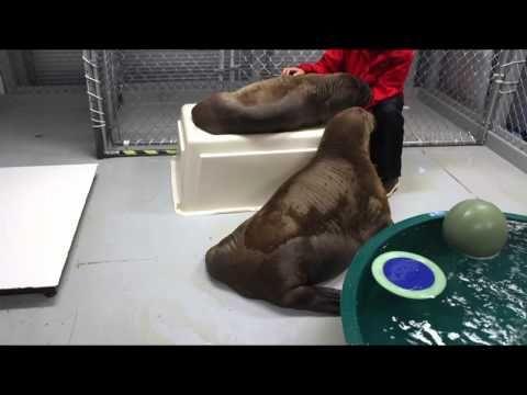 I think I want a walrus.
