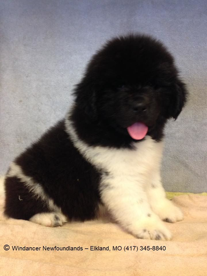 This 8 Week Old Newfoundland Dog Puppy Is A Black And White