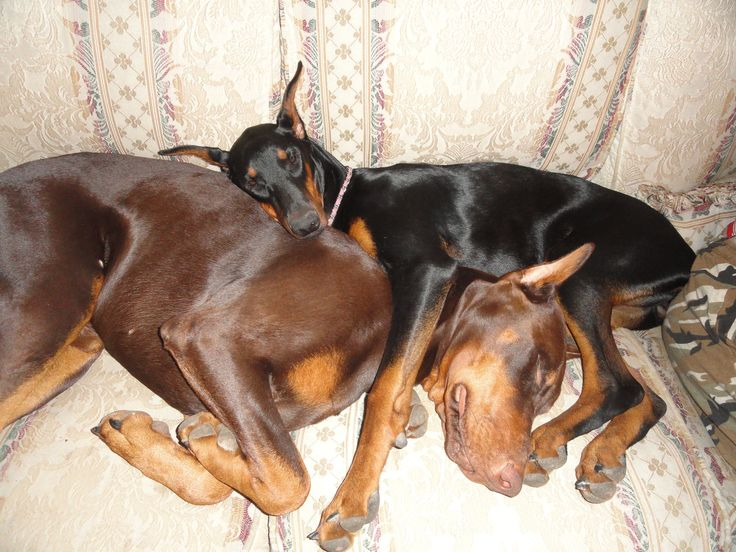 #doberman #pinscher #dogs - Re-pinned from Forever Friends Fine Stationery & Favors foreverfriends.ca...