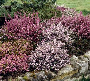 Bruyère commune: planter et tailler – ComprendreChoisir