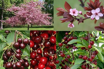 All about Ayurveda and Herbs: Cherries: Health Benefits