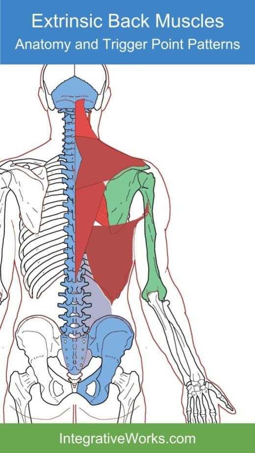 Extrinsic Back Muscles- Functional Anatomy | Health | Pinterest ...