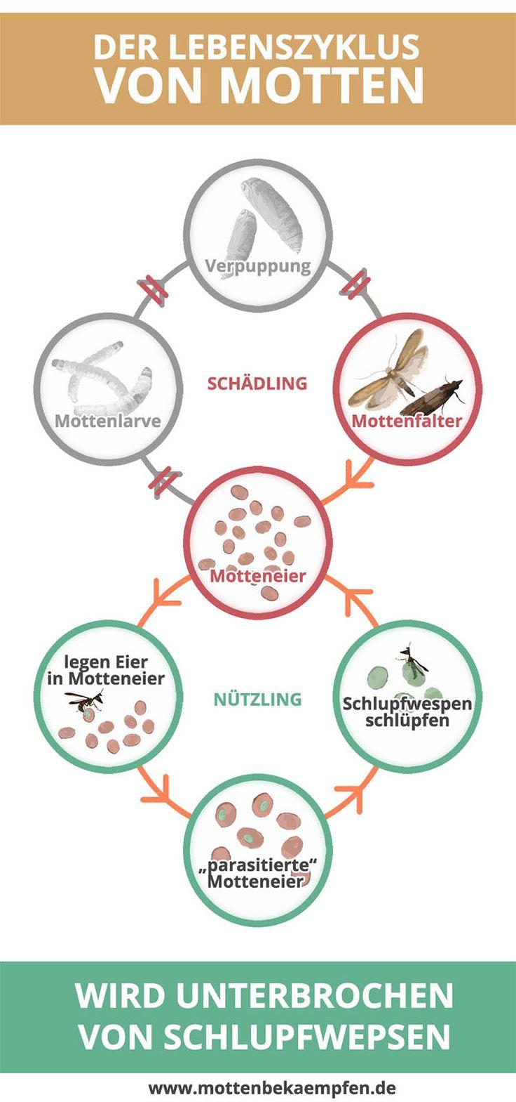 Der Lebenzyklus von Motten wird durch Schlupfwespen unterbrochen - Motten bekämpfen mit Schlupfwespen ist sehr effizient und einfach. Die Schlupfwespen  nichten die Motteneier und vermehren sich dadurch sogar noch. In weniger Wochen gehört damit die Mottenplage der Vergangenheit an.