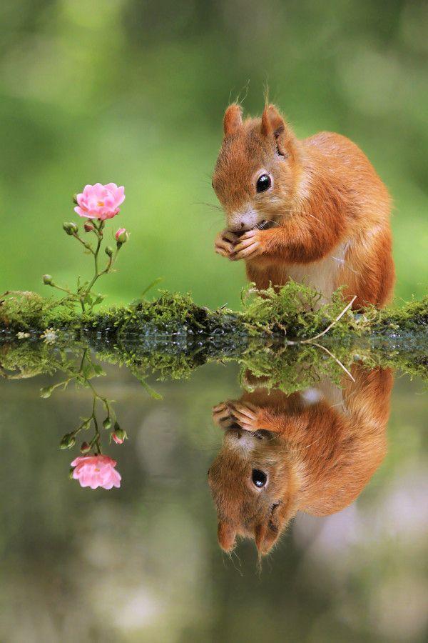 Mirror! Red Squirrel