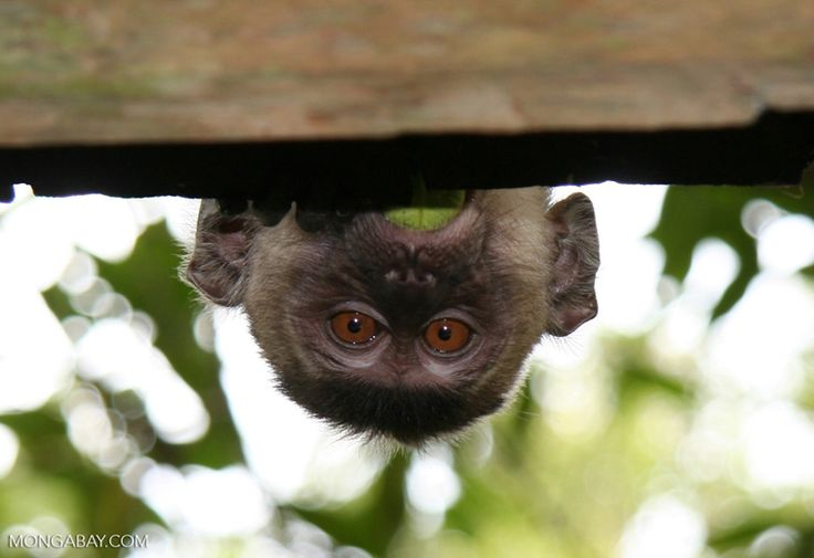 Long-tailed macaque (Macaca fascicularis) peeking over a roof so only its head is visible (Kalimantan, Borneo – Indonesian Borneo)
