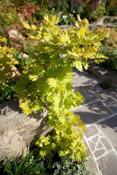 Växtval till slänt: japansk lönn - välj den gyllengröna  / vackrast av alla lönnar   Blomsterlandet.se