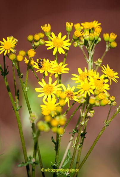 gelbe-wildblume-mit-biene, kreuzkraut, wildeschoenheiten.wordpress.com