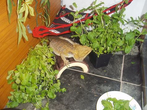 Give your bearded dragon some potted plants to nibble and sniff!
