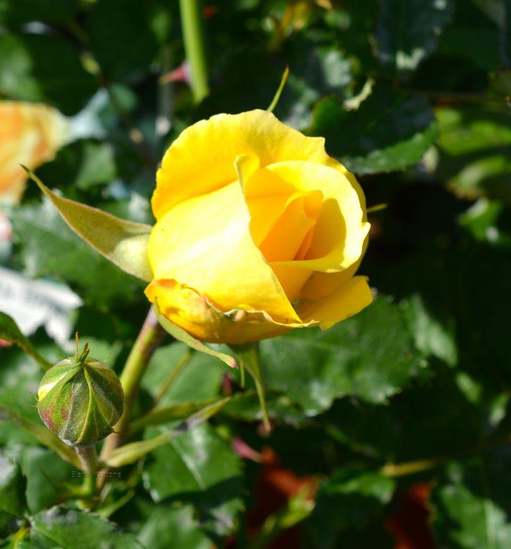 Bocciolo di rosa gialla