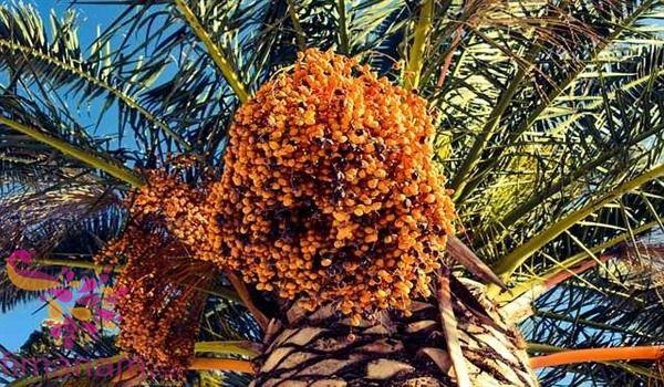 تفسير حلم البلح في المنام للعزباء والمتزوجه 2 In 2020 Fruit Fruit Trees Health