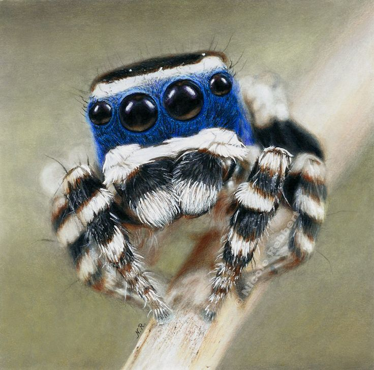 Traditional drawing of a Peacock spider (Maratus Personatus). I was in the right mood to draw an animal and to practice blurred parts, so I chose another plushy jumping spider. Who can resist those...