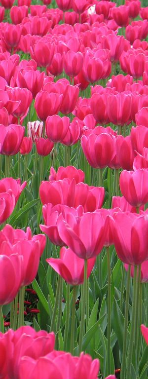 cute tulips pink flowers - photo #44
