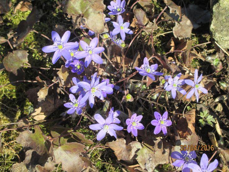 Sinivuokot, kevään ensikukkaset