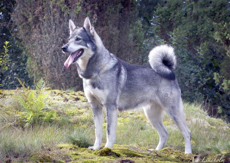 Perro vs Lobo