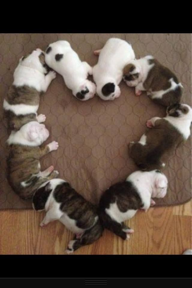 Bulldog Puppies Cutest Puppies Ever Things I Love