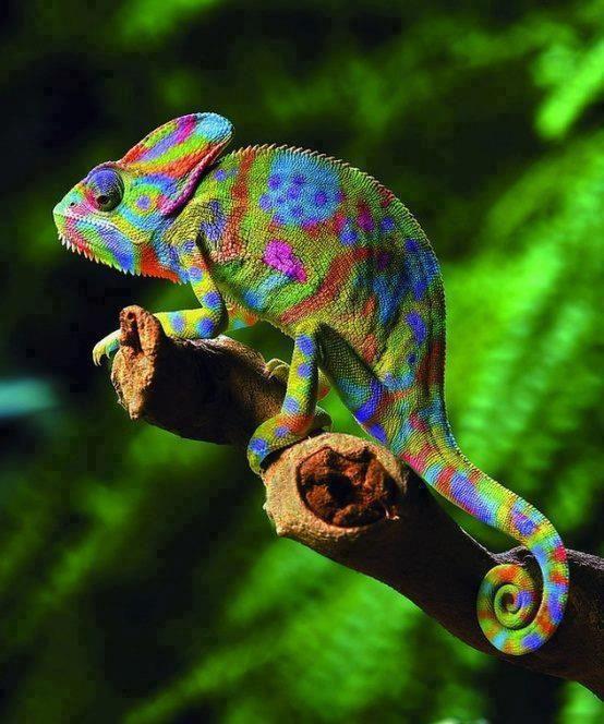 A beautiful rainbow chameleon also known as Veiled chameleon. (Chamaeleo calyptratus)