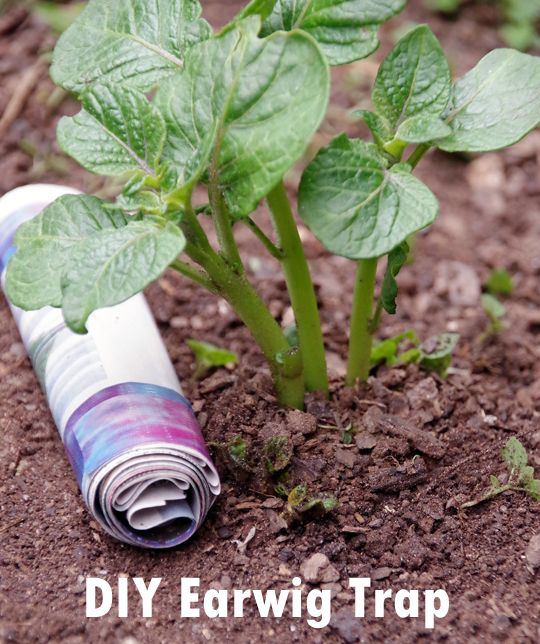 How to Make an Earwig Trap.  This is an easy way to get rid of earwigs in the garden naturally.